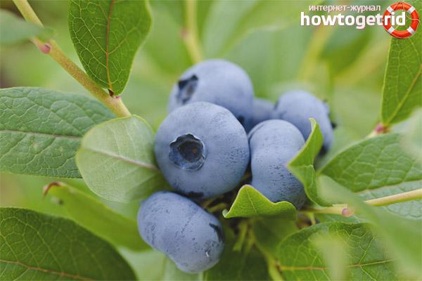 Aplicacions Blueberry