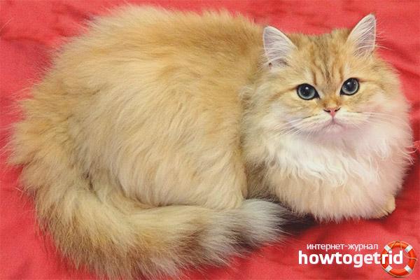 Lielbritānijas garu kaķu krāsas