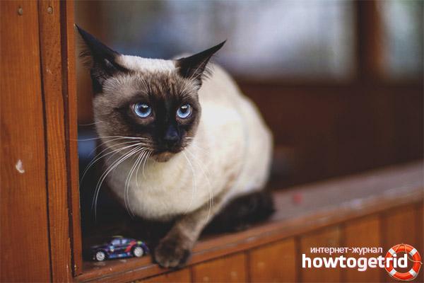Thailändische Katzenfarben