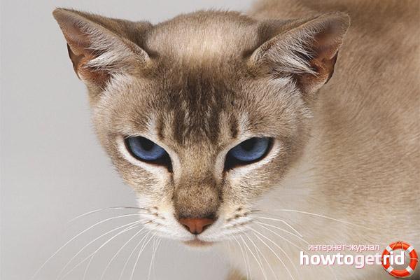 Tonkin kaķu krāsas