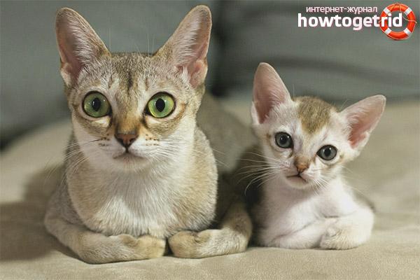 Singapūras kaķu šķirnes apraksts