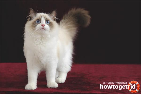 Rūpes par lupatu lelles kaķi pazīmes