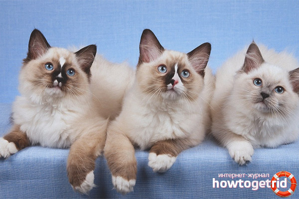 Ragdoll kaķu šķirne