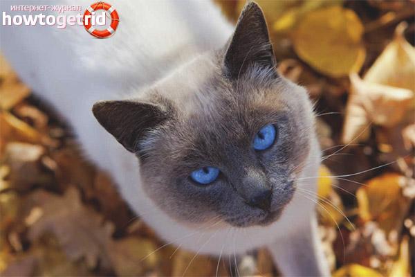 Pflege und Pflege von Thai-Katzen