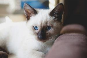 Thailändsk katt