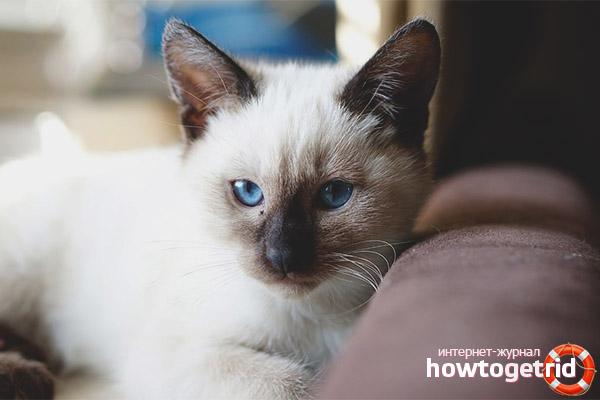 Thailändische Katze