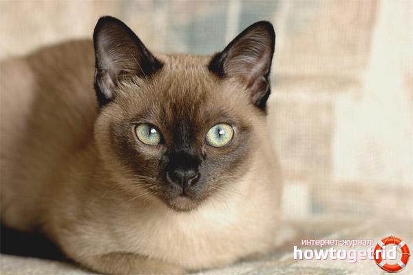Tonkin kaķis
