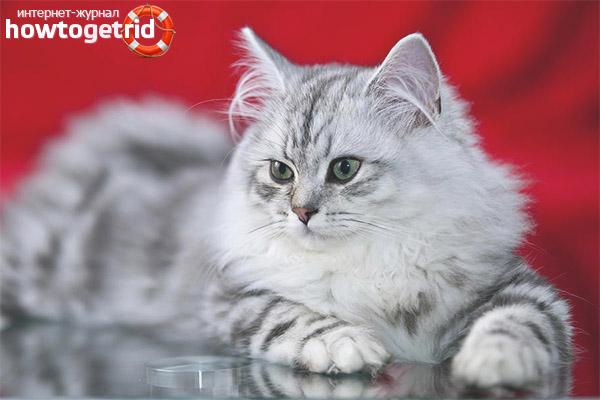 Rūpes par britu garu kaķi