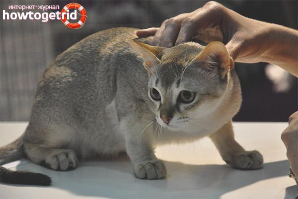 Rūpes par Singapūras kaķiem