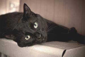 Bombay katt