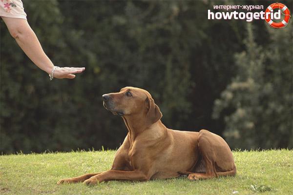 Com ensenyar a un gos un manament a mentir!