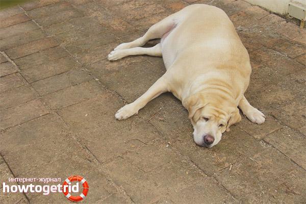 Die Auswirkungen von Fettleibigkeit bei Hunden