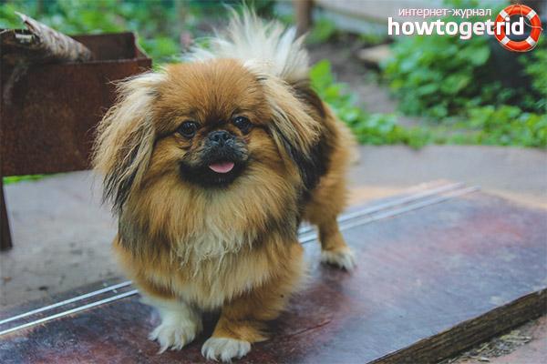 Pekingese Perihalan Dan Perwatakan Anjing