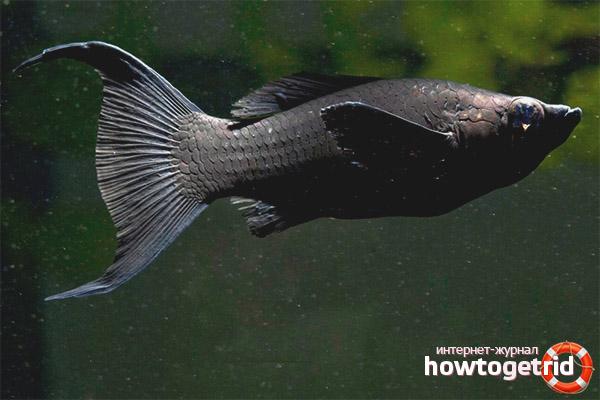 Aquarienfisch schwarze Molliesia
