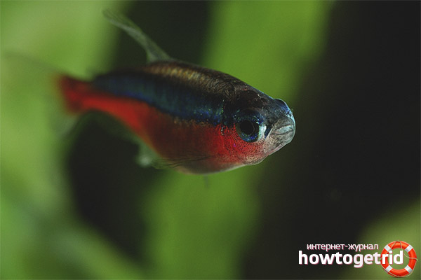 Aquarienfisch rotes Neon