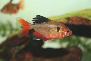 Küçük Akvaryum Balıkları