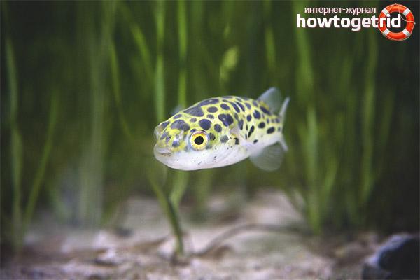 Aquarienfisch grüner Tetradon