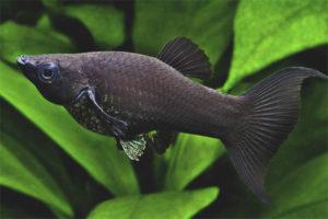 Siyah mollinsia