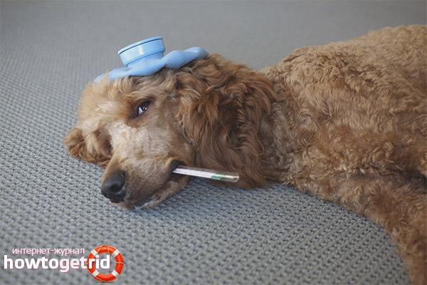 Wie man einem Hund bei Vergiftungen hilft