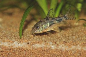Benekli yayın balığı