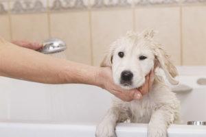 Kan en hund vaskes efter vaccination?