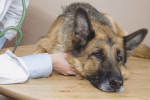 Intoxicacions per aliments per a gossos