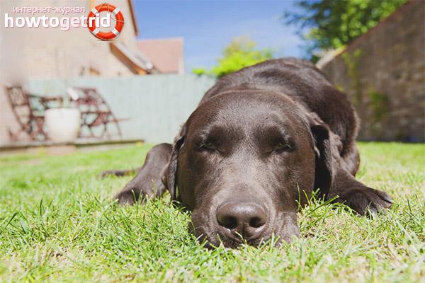 Ajutor cu lovitură de căldură la un câine