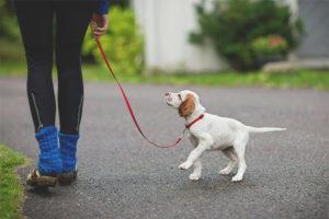 A quina edat pots caminar amb un cadell