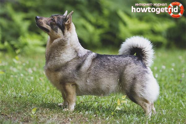 Schwedischer Walhund