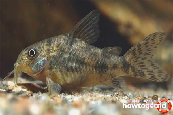 Speckled Catfish Content