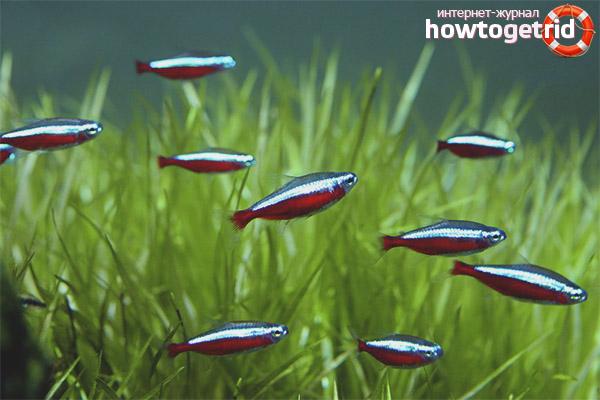 Roter Neonfischgehalt