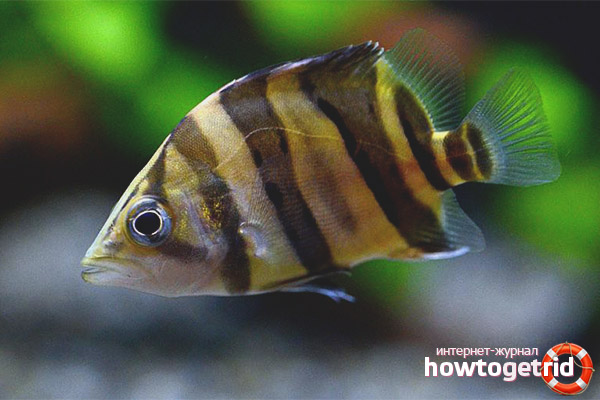 Tiger Bass