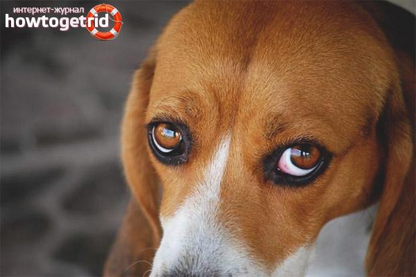 Der Hund hat rotes Weiß der Augen
