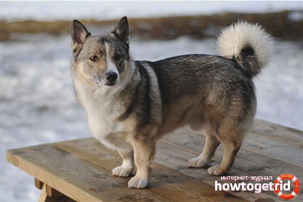 Für einen schwedischen Walhund sorgen