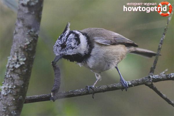 El comportament i el caràcter de la titella cresta