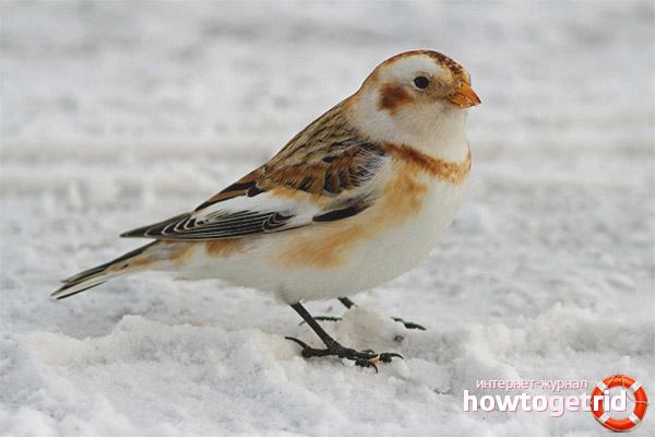 snehule severnej