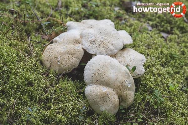 Ciuperca oilor