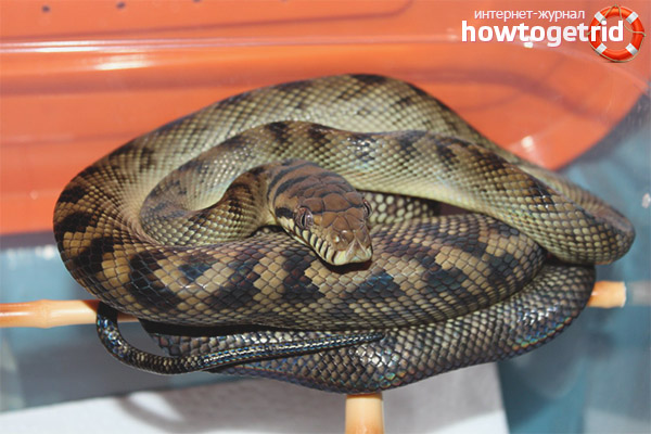 Python améthyste