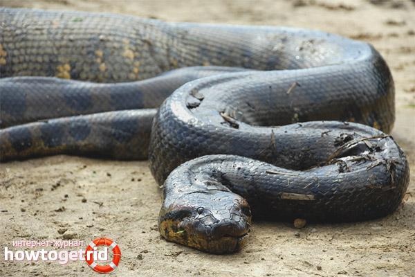 Anaconda vulgaris