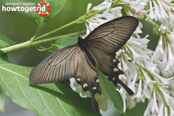 Alky motyl
