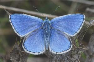Bướm Lycaenidae
