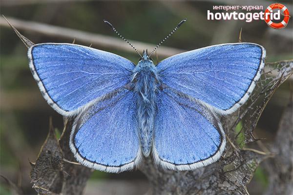 Tauriņš Lycaenidae