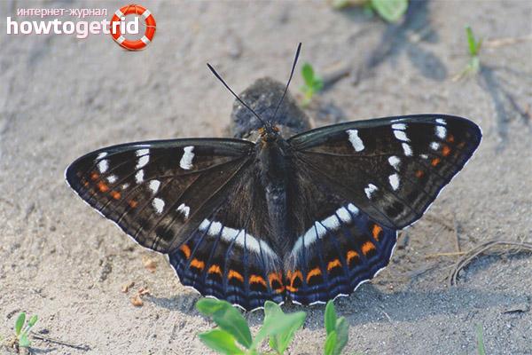 Schmetterlingsband
