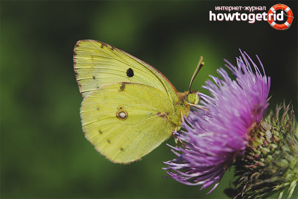 Motyl trawy cytrynowej