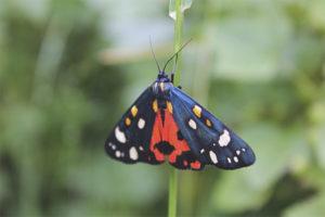 Dipper bướm