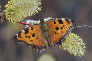 Hoa bướm
