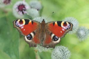 Mắt bướm