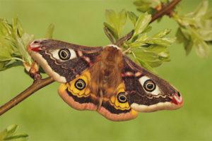 Con công bướm