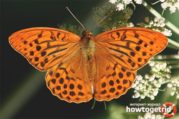 Schmetterling Perlmutt