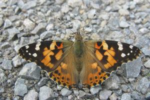 Cây kế bướm